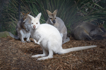 Young curious white wallaby kangaroo
