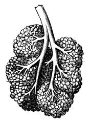 Breast lobe, vintage engraving.