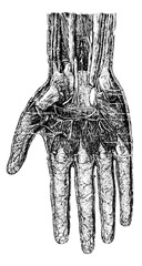 Deep layer of the hand (palmar surface), vintage engraving.