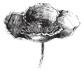 Somnifere poppy (flower) or Opium poppy, vintage engraving.
