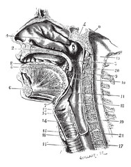 Cup antero-posterior of the oral cavity and throat back revealin