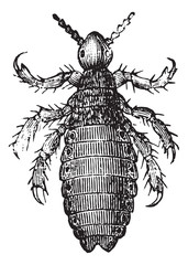 Head lice or Head louse, vintage engraving.