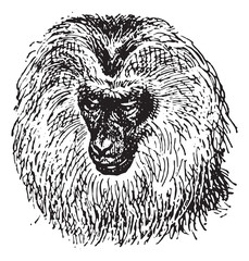 Lion-tailed macaque or Macaca silenus, vintage engraving.
