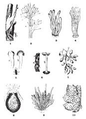Diseases of the vine, vintage engraving.
