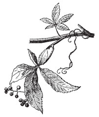 Vine Virgin, vintage engraving.