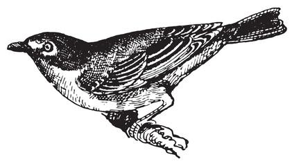 Vireo solitarius, vintage engraving.