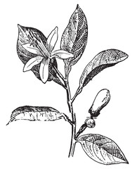 Orange, Flower and leaves, vintage engraving.