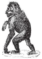 Orangutan, vintage engraving.