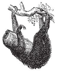Sloth, vintage engraving.