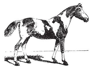 Pinto horse, vintage engraving.