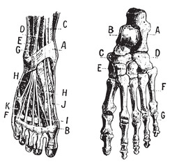 Foot, Fig 1. Muscles, Fig 2. Skeleton, vintage engraving.