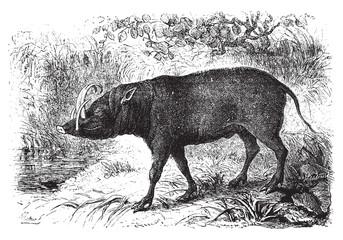 The babirusa, vintage engraving.