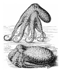 Octopus (Octopus vulgaris), vintage engraving.