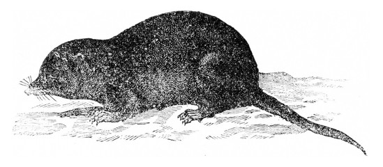 Common shrew, vintage engraving.