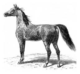 Horse, vintage engraving.