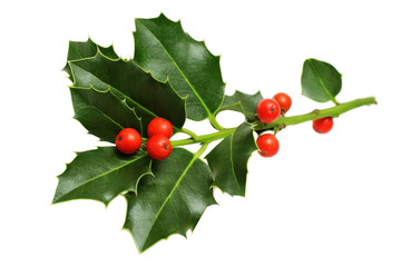 Christmas Holly Leaves and Berries Isolated on White