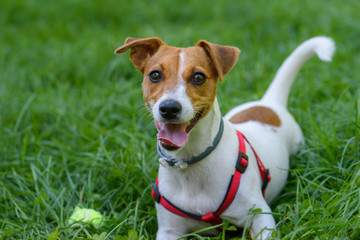 Funny dog with playful face expression lying on green grass
