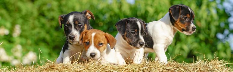 Vier Jack - Russel Hundewelpen sitzen auf einen Strohballen