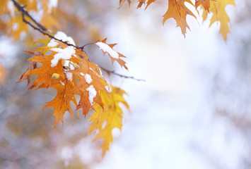 Beautiful branch with orange and yellow leaves in late autumn or early winter under the snow. The first snowfall, gentle blurred elegant romantic light background for design.