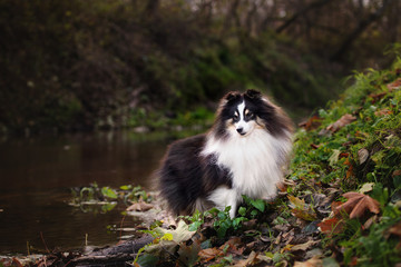 beautiful sheltie dog posing outdoors