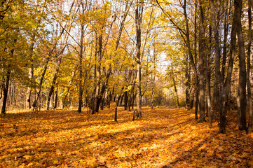 Yellow leaves on the trees in the beautiful autumn forest