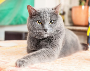 Angry grey cat