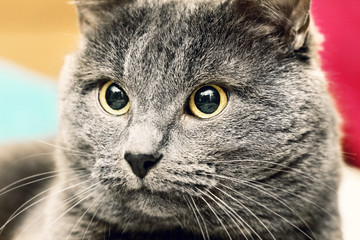 Portrait of angry gray cat