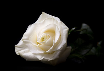 White rose isolated on black