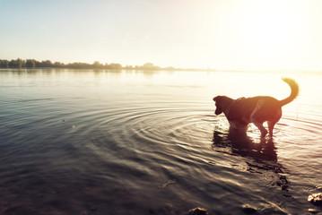 Hund läuft durchs Wasser