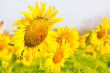 Sunflowers beautiful