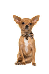 Cute brown sitting chihuahua facing the camera wearing a bow tie isolated on a white background
