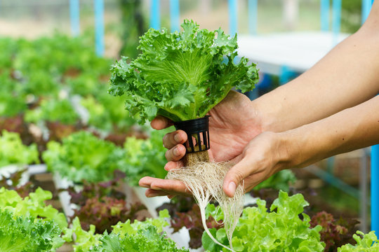 Vegetables hydroponics