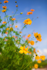Background with beautiful yellow flower in flower garden,selective focus