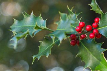 holly, Ilex aquifolium tree