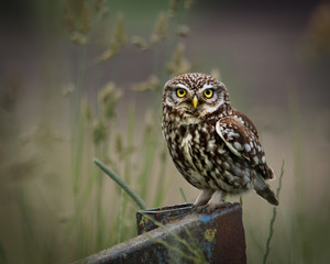 wild little owl sat on edge of farm equipment, looking forward.(Athene noctua)