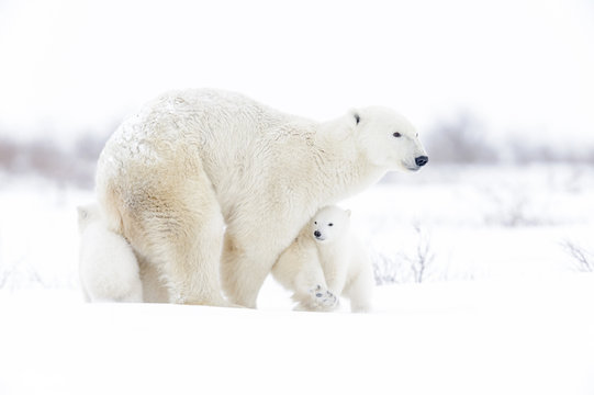 Polar bear mother (Ursus maritimus) with two cubs walking on tundra, Wapusk National Park, Manitoba, Canada