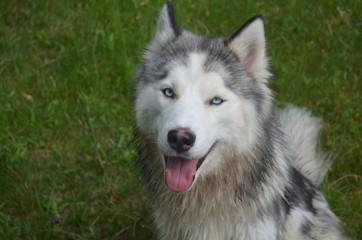 Siberian Husky Dog in the Grass