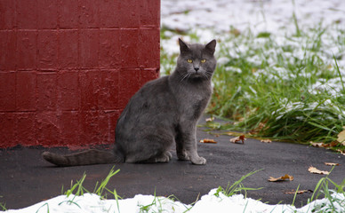 Grey big cat.