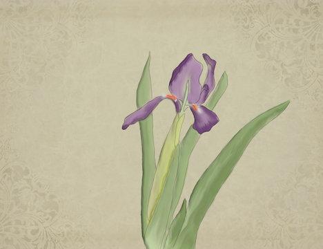 Iris watercolour