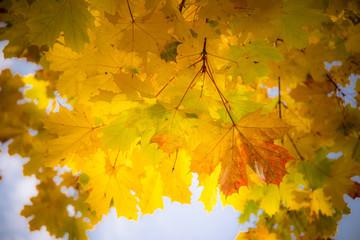 Herbstblätter - Ahorn