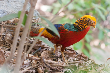 Golden or Chinese pheasant (Chrysolophus pictus)