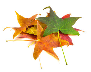Beautiful, soft, colorful and fresh autumn maple leaves on the w