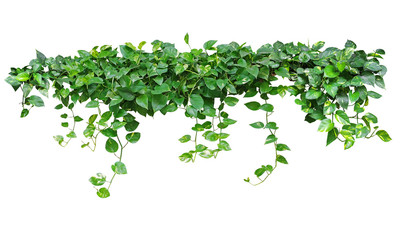 Obraz Heart shaped green leaves vine ivy plant bush of devil's ivy or golden pothos (Epipremnum aureum) isolated on white background with clipping path. - fototapety do salonu