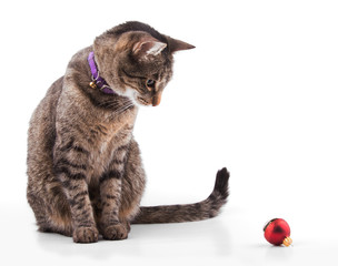 Brown tabby cat looking at a red bauble, ready to play - on white