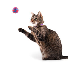 Brown tabby cat catching a toy flying at her