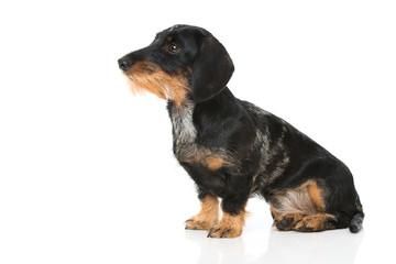 Spoed Fotobehang Hond Rauhaar Tigerdackel