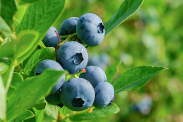 Fresh Organic Blueberries on the bush. close up