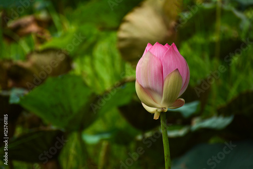 Lotus Flower Nelumbo Nucifera Known By A Number Of Names Including