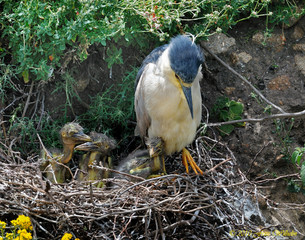 BBlackcapped Night-Heron with its 3 young chicks in nest