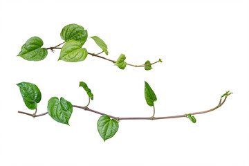 ivy. vine plants, ivy leaves of the climbing plant isolated on w